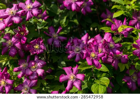 Nature Detail of Lush Violet Colored Clematis Flowers in Bloom in Bright Sunshine - stock photo