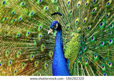 nature fauna, majestic, irresistibly beautiful bird, peacock, with the proud torso indigo, and with a luxurious tail disclosed