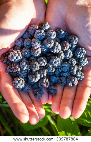Nature. Food. Close-up of fresh blackberries in hands.