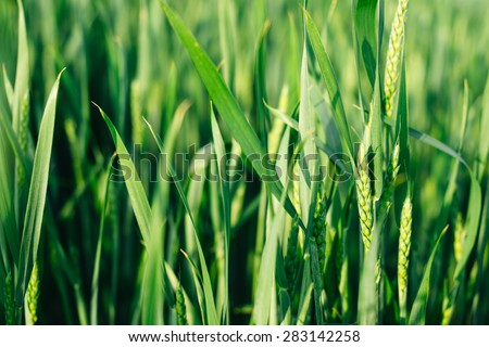 nature green background wheat ears of grain in the sun. Organic farming - stock photo