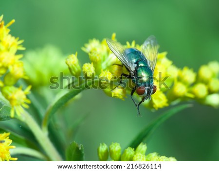 Nature image showing details of insect life: closeup / macro of a calliphoridae fly (blow-fly, bluebottle, greenbottle) sitting on the yellow flower. Can be used as wallpaper, background or postcard  - stock photo