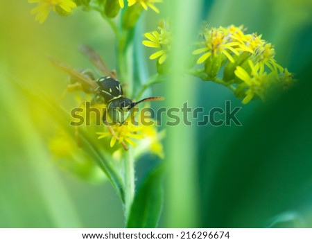 Nature image showing details of insect life: closeup / macro of  wasp / poliste sitting on the yellow flower with black and yellow pattern on its body. Can be used as wallpaper, background or postcard - stock photo