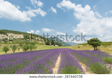 Nature landscape in the French Drome with blooming lavender - stock photo