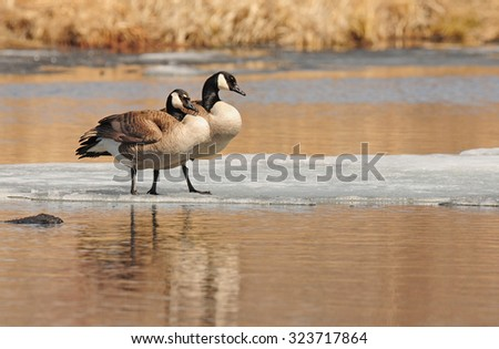Nature landscape: Pair of Canada geese (branta Canadensis) standing on patch of ice in lake - stock photo