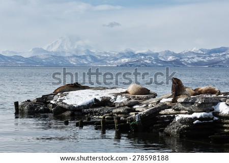 Nature of Kamchatka: rookery Steller Sea Lion or Northern Sea Lion (Eumetopias Jubatus). Avachinskaya Bay, Petropavlovsk-Kamchatsky, Kamchatka Peninsula, Russia. - stock photo