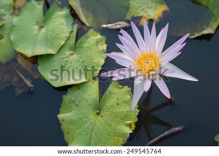 Nature One Purple or pink Lotus with Green Leaf in Swamp or Pond as background - stock photo