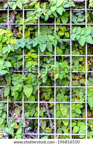 Nature's vines trapped behind a metal fence, slowly growing out and through the fence