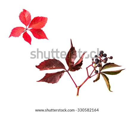 nature, season, autumn and botany concept - autumn grape leaves and vine bunch with berries - stock photo