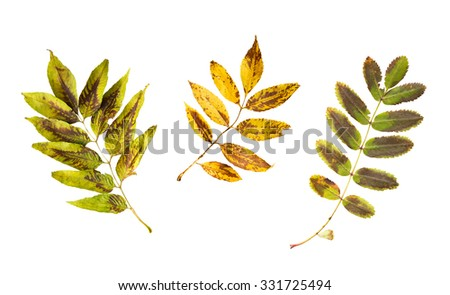 nature, season, autumn and botany concept - set of dry fallen ash and rowan tree leaves - stock photo