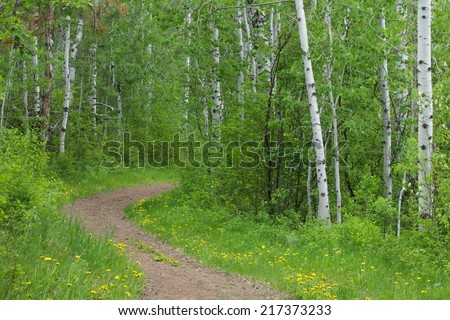 Nature Trail thru a happy forest of aspen & birch trees w/ distinctive white tree trunks yellow wild flowers border the path walking biking horse riding hiking running jogging cross country
