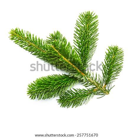 nature tree fir branche on white background - stock photo