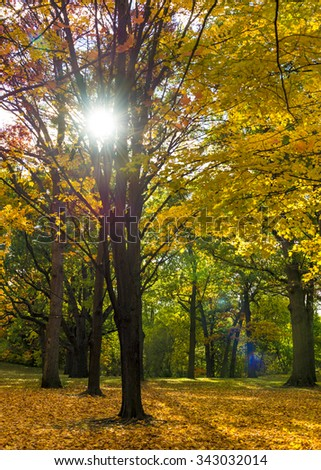Nature wallpapers or Autumn backgrounds: Maple tree with golden orange and yellow leaves with the sun in the background. - stock photo