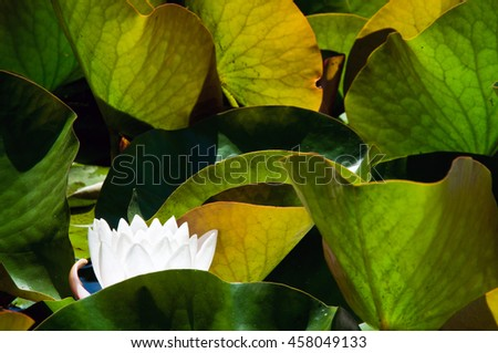 Nature, waterlily flower background, plant structure