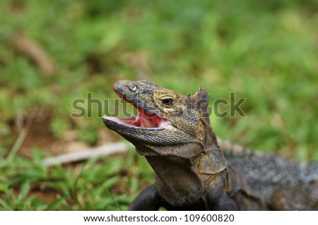 Nature; Wildlife; Horizontal; Close up; Outdoors; Animals In The Wild; Reptile; Brown; Green; Day; Iguana; Grass; One Animal; Animal Themes; No People; UNESCO; Panama; central America; Head