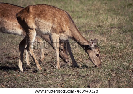 Nature wildlife portrait, fawns grazing weeds, blurred background