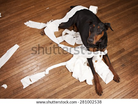 Naughty dog!  Doberman lying on a wood floor with toilet paper all over.   - stock photo