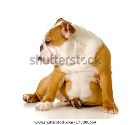naughty dog - english bulldog with an attitude isolated on white background - stock photo
