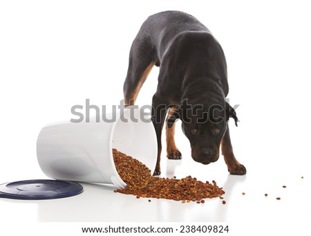 Naughty dog.  Rottweiler looking ashamed next to a pile of spilled dog food.  Isolated on white.  - stock photo