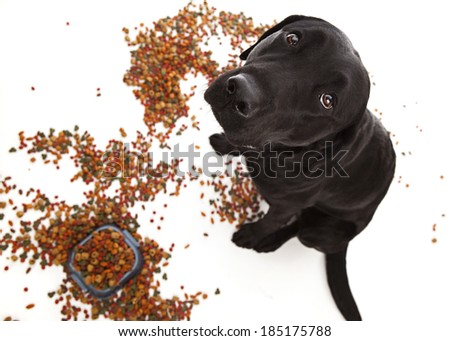 Naughty puppy!  Adorable black lab puppy looking up in the center of a pile of dog food.