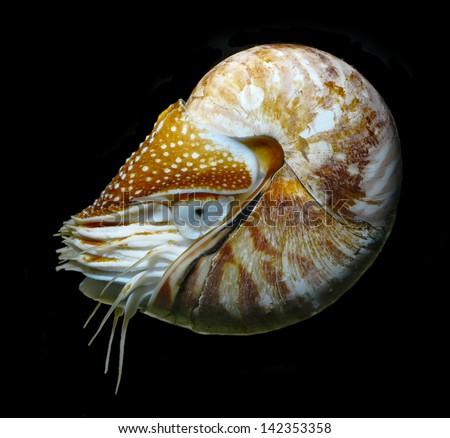 nautilus swimming, alive on black background studio shot - stock photo