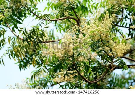 Ne-em leaves and flowers or Margosa flower in Thailand - stock photo