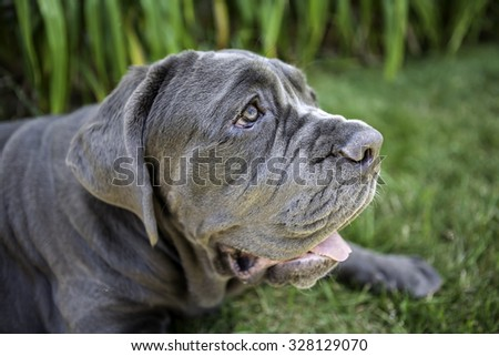Neapolitan Mastiff Puppy sitting outside in the grass looking off to the side - stock photo