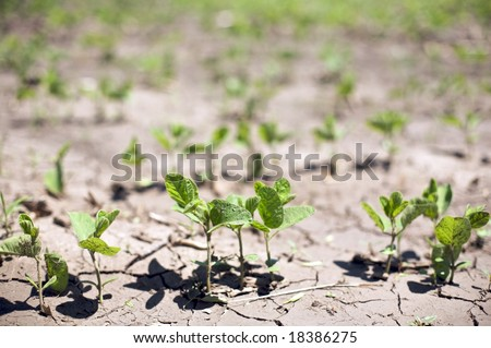 """Near drought conditions challenge spring crops of """"Glycine max"""" sprouts or commonly called soybeans - stock photo"""
