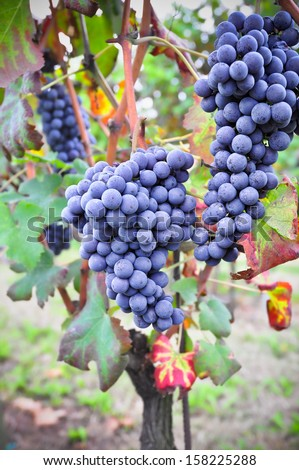 Nebbiolo vineyard. Nebbiolo is a red Italian wine grape variety. - stock photo