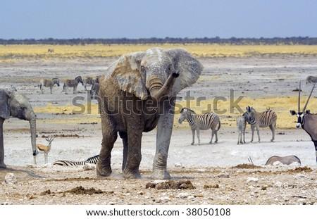 Nebrownii waterhole where a herd of 5 elephants kept hundreds of springbok, Oryx an zebra away from the water - stock photo