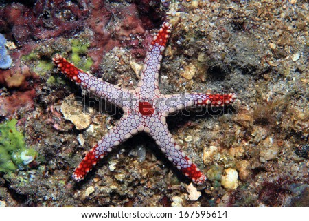 Necklace sea star (Fromia monilis) in the coral reef  - stock photo