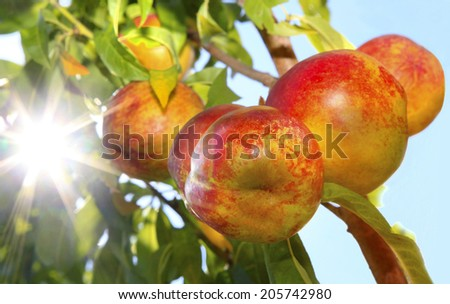 Nectarines on the Tree with Sun Flare Shinning Through the Tree - stock photo