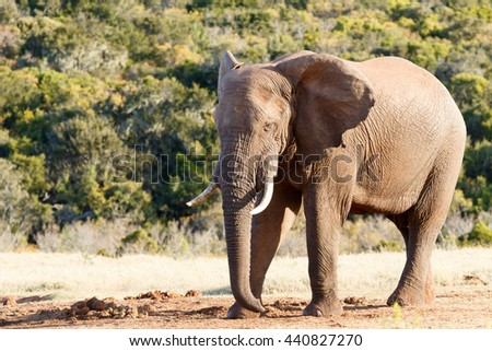Need a nap - The African bush elephant is the larger of the two species of African elephant. Both it and the African forest elephant have in the past been classified as a single species.
