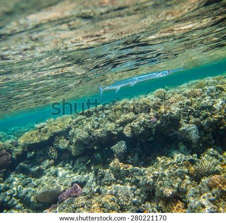 Needlefish , Tylosurus crocodilus, swimming in red sea near the beautiful coral reef - stock photo