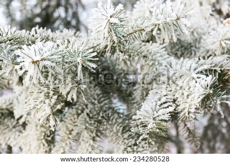 Needles in the frost