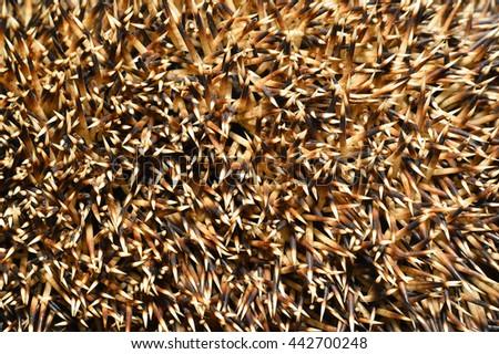 Needles of a hedgehog close up, texture - stock photo