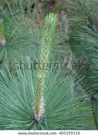 needles of coniferous species