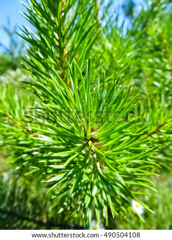Needles on a branch of the fir tree