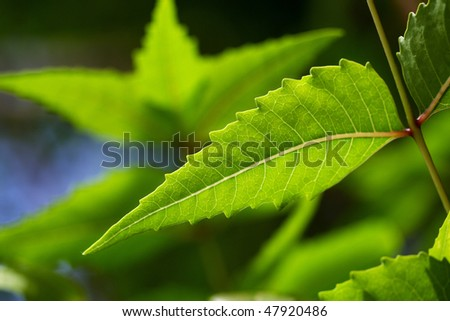 Neem leaf-Azadirachta indica - stock photo
