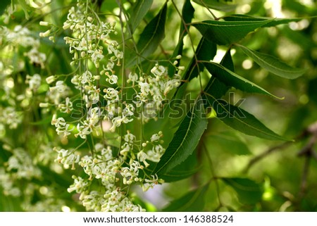 Neem leaves and flowers - stock photo