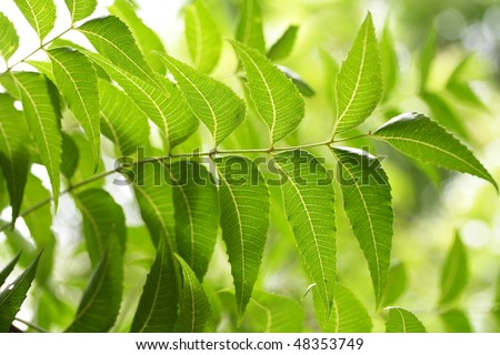 Neem leaves-Azadirachta indica - stock photo