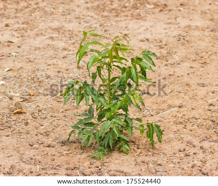 Neem plant growing from soil - stock photo