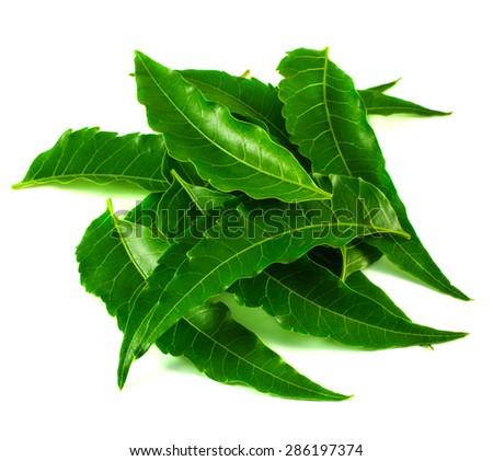 Neem Tree leaves isolated on white background. - stock photo