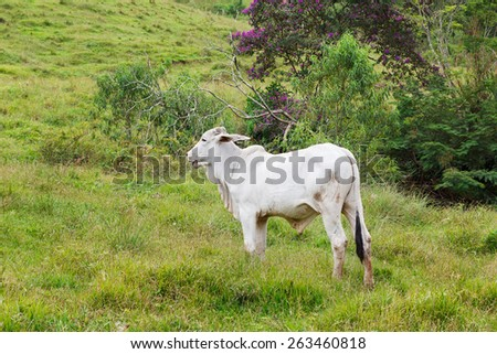 Nellore - brazilian beef cattle in mountains, white bull. Selective focus - stock photo