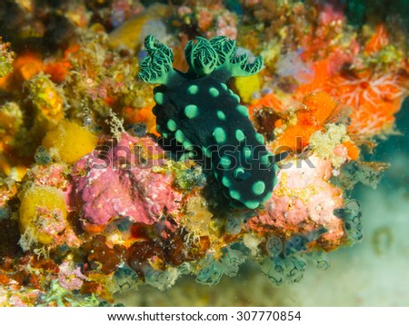 Nembrotha cristata (Crested nembrotha) on colored coral