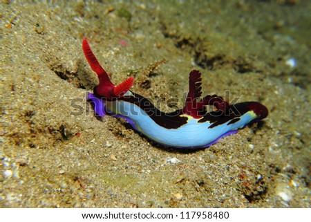 Nembrotha nudibranch (Nembrotha chamberlaini). Nudibranch is a type of sea slug known for its colorful body - stock photo