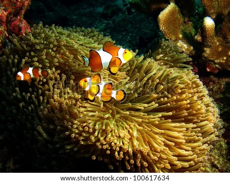 Nemo (Anemonefish) family in front of their anemone home. Andaman Sea, Thailand.