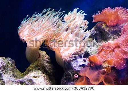 Nemo (clownfish, anemonefish, Amphiprioninae) aquarium fis - stock photo