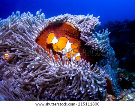 Nemo fish - Aphiprion bicintus, Anemone fish on its anemone soft coral. Komodo, Indonesia. - stock photo