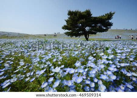nemophila bloom in japan