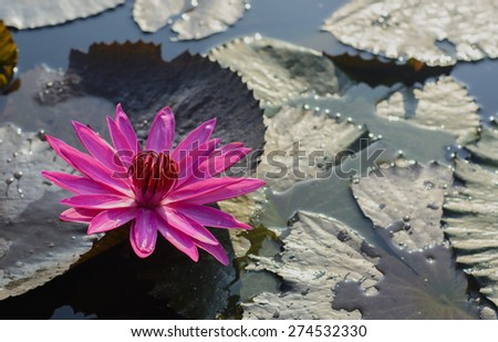 Nenuphar pink flowers that are blooming. - stock photo